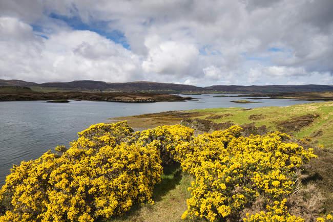 Сполучене Королівство, Шотландії, вид диких Gorse в Loch Dunvegan — стокове фото
