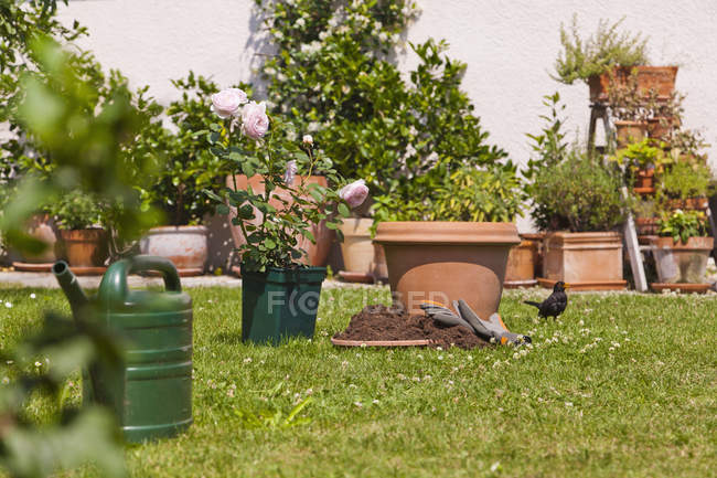 Germany, Stuttgart, Flower pots and English rose on lawn in garden — Stock Photo