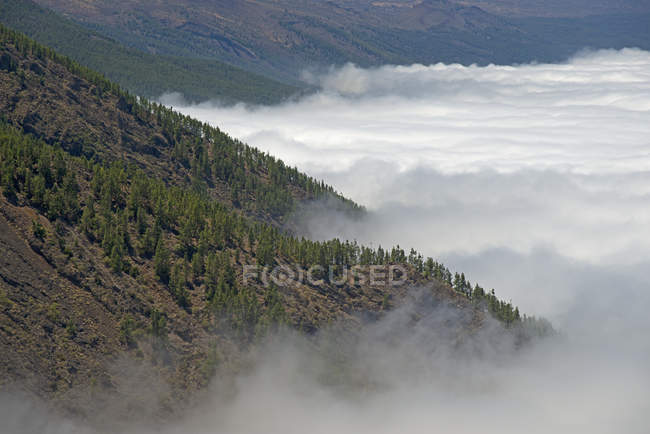 Spain, Canary Islands, Tenerife, Canary Island pines at Teide National Park — Stock Photo
