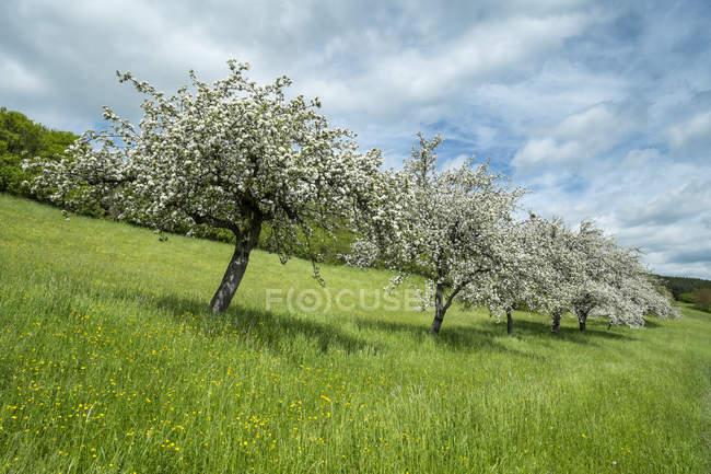 Alemanha, Baden Wuerttemberg, vista do Prado com árvores dispersas de ameixa fluindo na primavera — Fotografia de Stock