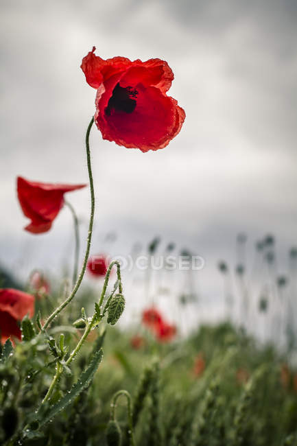 View of Red poppy in field during daytime — Stock Photo