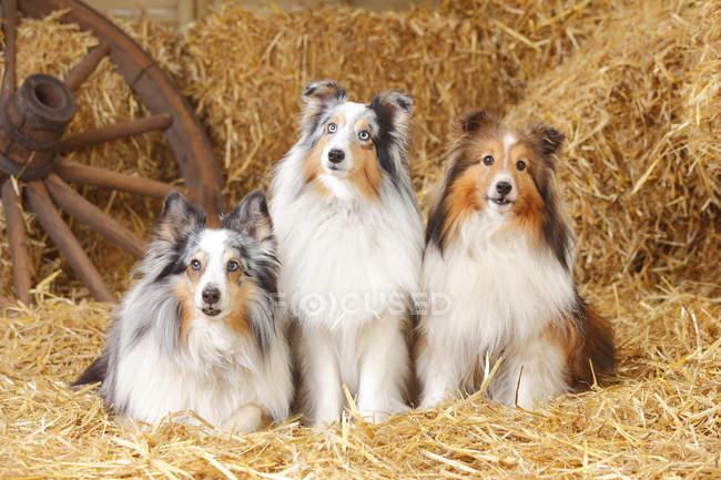 Australian Shepherd dogs sitting on straw in barn — Stock Photo