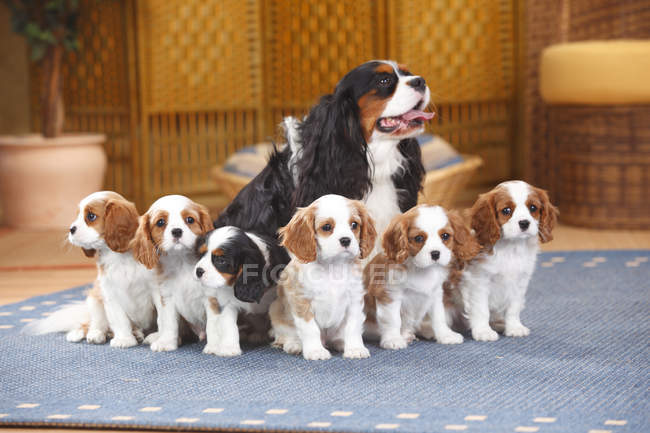Cavalier King Charles spaniel with six puppies sitting on carpet — Stock Photo