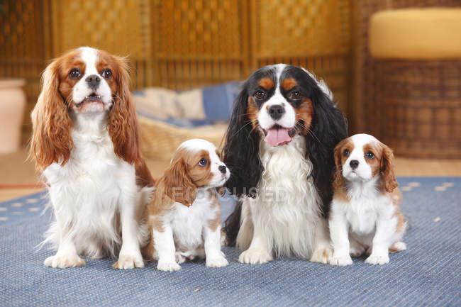 Duas spaniel Cavalier King Charles com dois filhotes de cachorro sentado no tapete — Fotografia de Stock