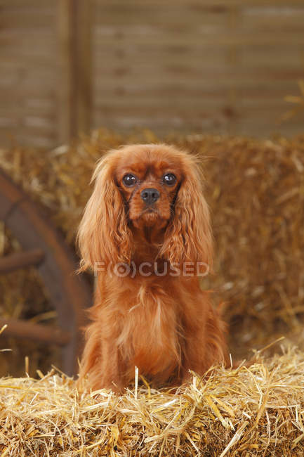 Cavalier roi Charles épagneul assis sur balle de foin dans la grange — Photo de stock