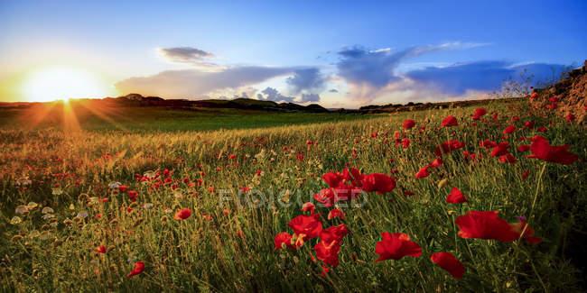 Spanien, Menorca, Mohnblumenfeld bei Gegenlicht — Stockfoto