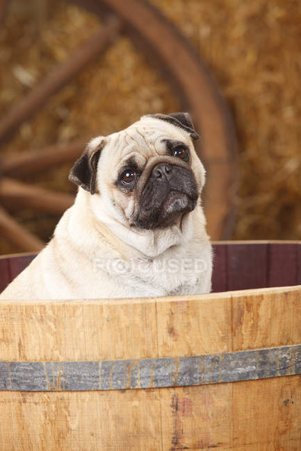 Close-up of Pug sitting in tub in burn — Stock Photo