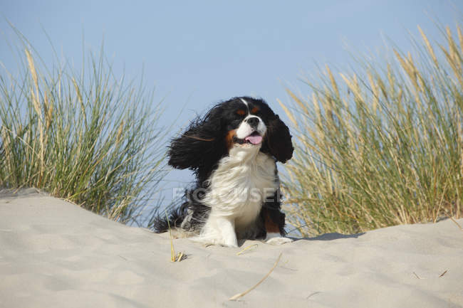 Cavalier King Charles Spaniel, male, tricolor sitting on sand dune — Stock Photo