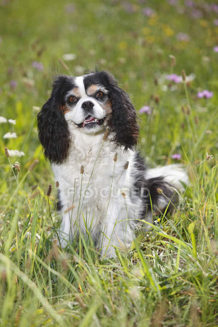 Cavalier King Charles spaniel sitting in meadow and looking at camera — Stock Photo