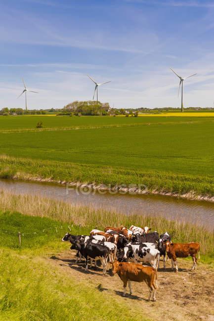 Allemagne, Schleswig-Holstein, vue des vaches au champ avec éolienne en arrière-plan — Photo de stock