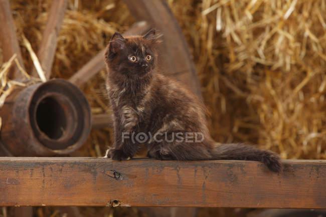 British Longhair Kitten sitzen auf Holzlatte in Scheune — Stockfoto