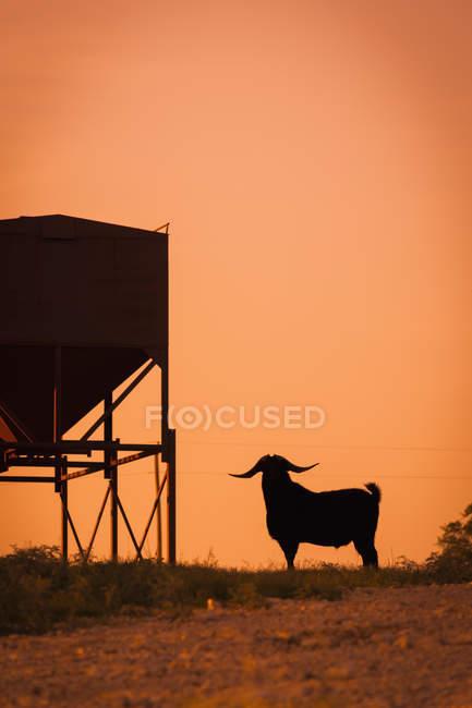 США, Техас, долго рогатого козла стоя рядом с подачи — стоковое фото