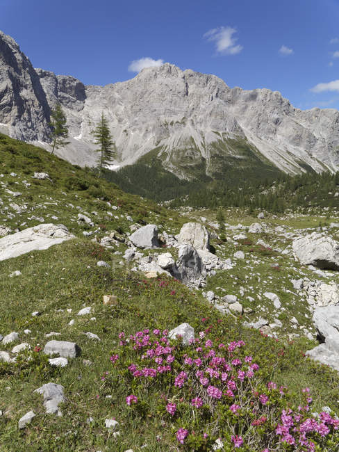 Austria, Carinthia, Carnic Alps, Wolayer Alm and Alpine Roses — Stock Photo