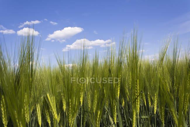 Grünes Feld für Gerstenpflanzen auf Ackerland — Stockfoto