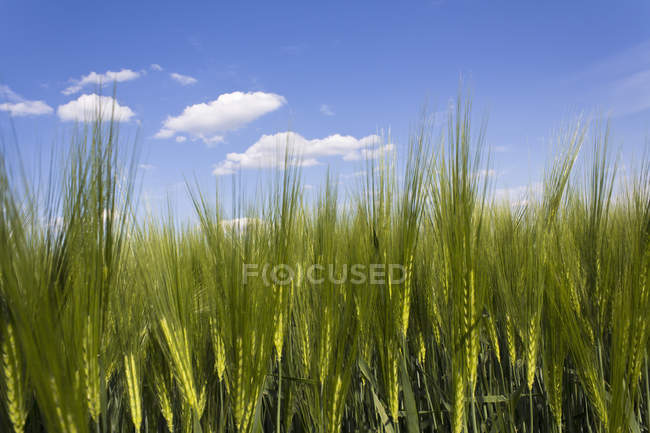 Green field of barley crops in farmland — Stock Photo