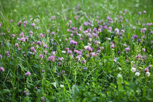 Germany, Clover flower during daytime — Stock Photo