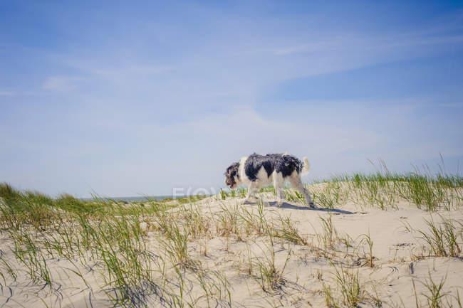 Данія, Ромо, собака стоячи в Північному морі — стокове фото