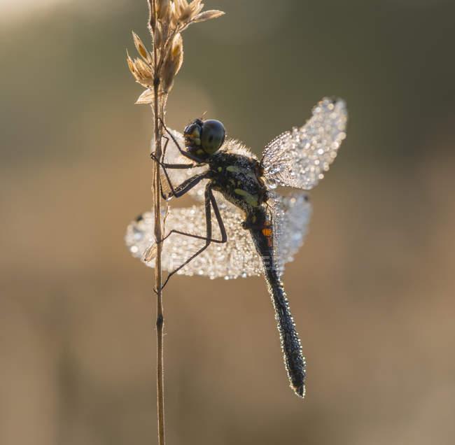 Крупним планом зору dragonfly на завод twig в підсвічуванням — стокове фото