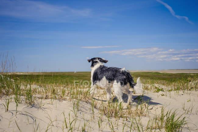 Данія, Ромо, собака стояти під Північним морем денний час — стокове фото