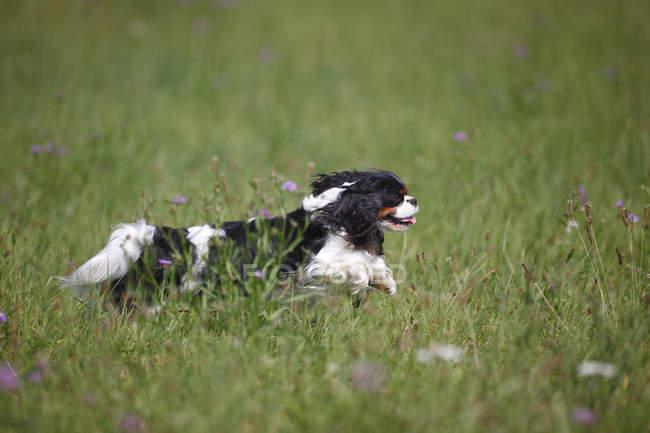 Кавалер Чарльз Спаниель бежит по лугу — стоковое фото