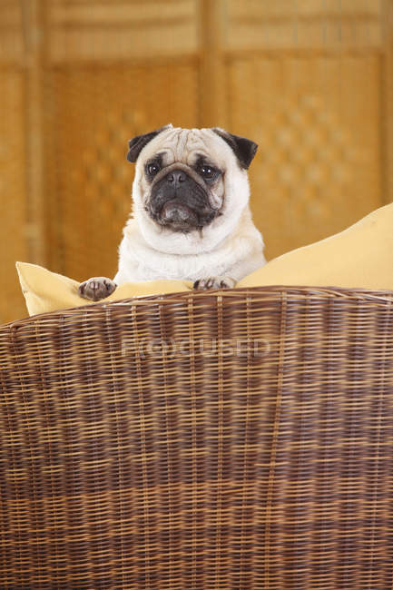 Close-up of curious Pug peeking out of basket — Stock Photo