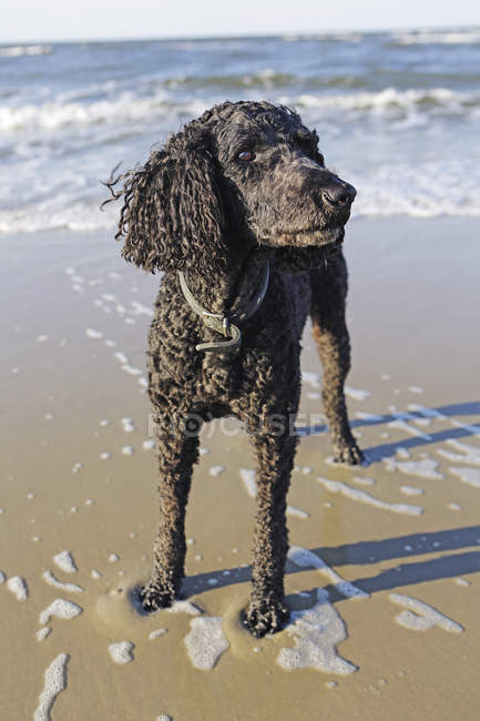 Black poodle standing on sand beach — Stock Photo