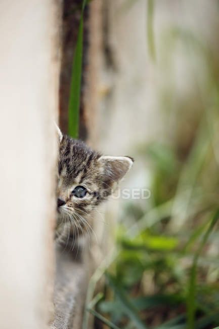 Close-up of tabby kitten looking out of wall outdoors — Stock Photo