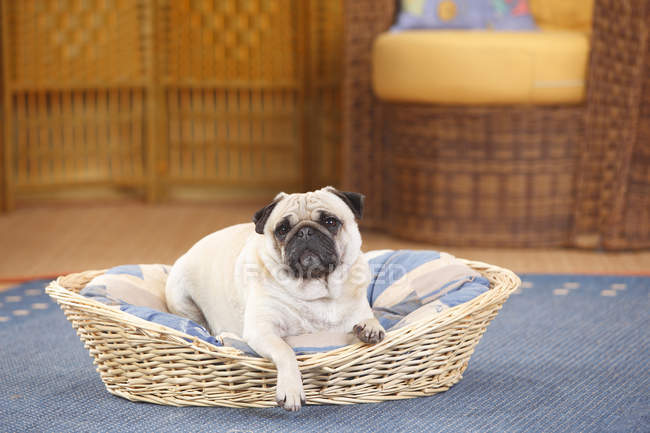Pug acostado en canasta de perro en alfombra azul - foto de stock