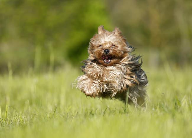 Nahaufnahme der Yorkshire Terrier laufen auf Wiese — Stockfoto