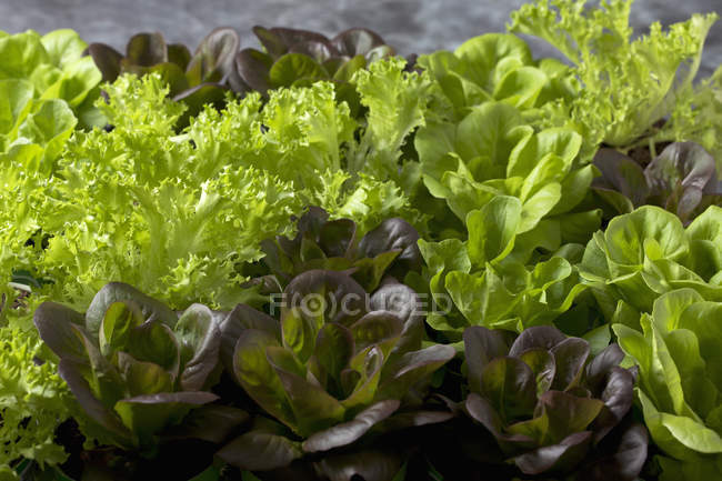 Close-up of fresh colorful Lettuce plants — Stock Photo