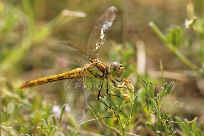 Крупним планом вид великих dragonfly Darter на зелених рослин — стокове фото
