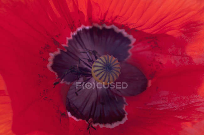Red poppy flower, closeup view — Stock Photo