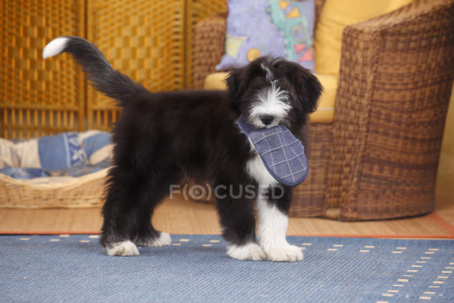Bearded Collie puppy holding slipper in mouth — Stock Photo
