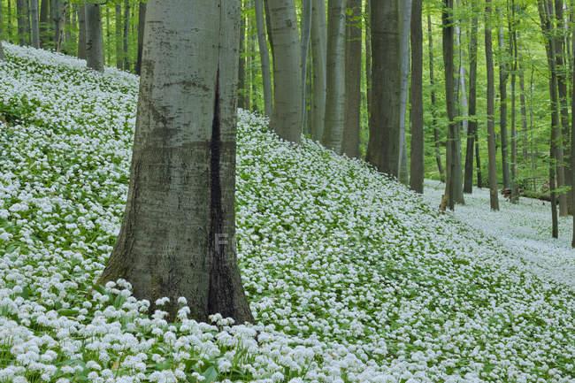 Allemagne, en vue de Ramson et hêtre arbres dans la forêt — Photo de stock