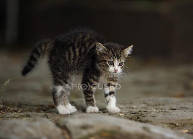 Close-up of Kitten standing and looking away — Stock Photo
