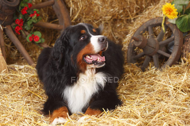 Bernese Mountain Dog lying on straw in barn and looking sideways — Stock Photo