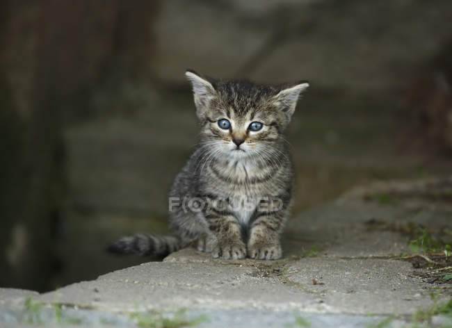 Kitten with blue eyes sitting on stone outdoors — Stock Photo