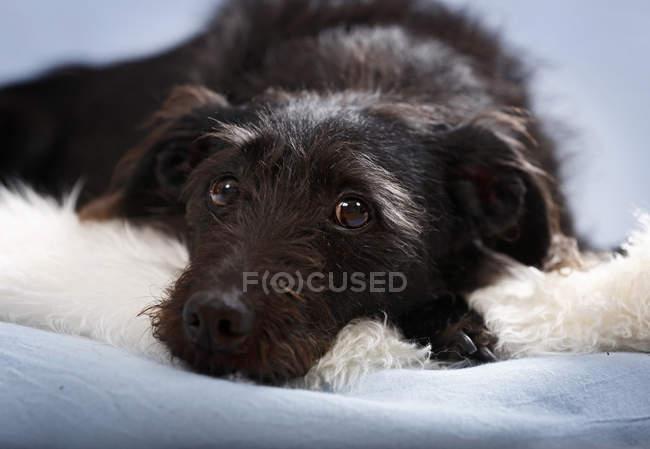 Mixed della razza cane sdraiato sul tappeto soffice e rivolto verso l'obiettivo — Foto stock