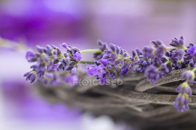 Кошик квітів лаванди, крупним планом подання, вибіркове фокус — стокове фото