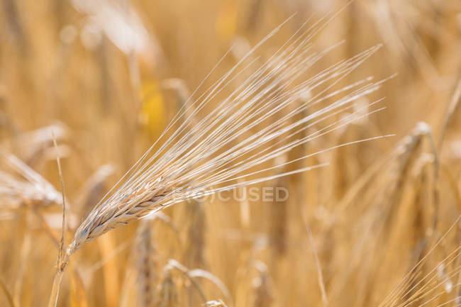 Nahaufnahme von Gerstenähren auf dem Feld am Tag — Stockfoto