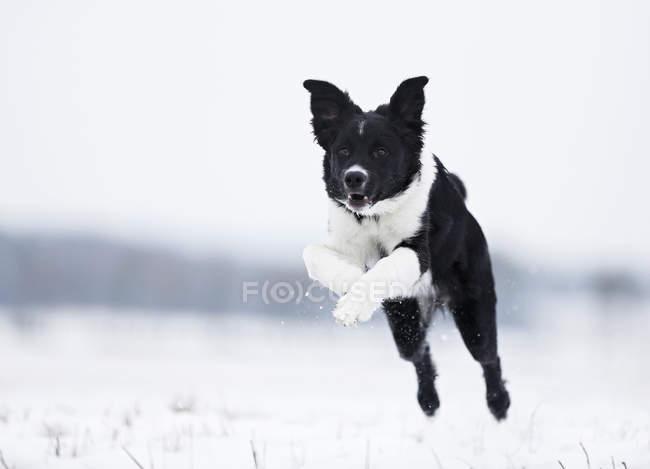 Щенок-колли прыгает по снегу — стоковое фото