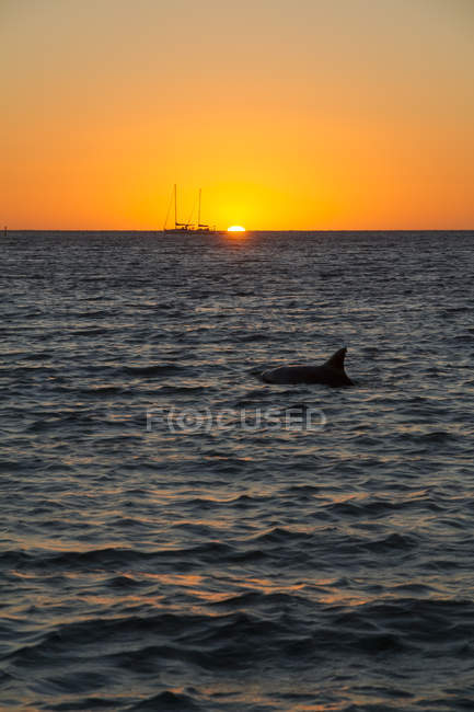 Australia, Western Australia, Perth, sailing boat and dolphin at sunset on the ocean — Stock Photo
