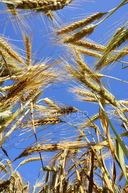 View of ripe barley against sunlight — Stock Photo