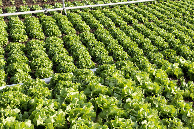 Lettuce vegetable field with irrigation system — Stock Photo