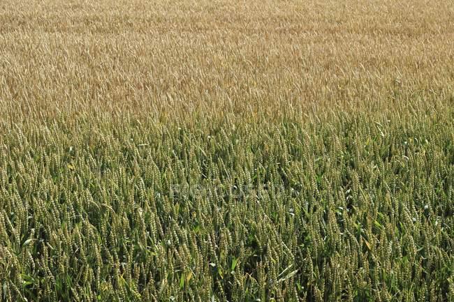 Norte da Alemanha, visão do campo de milho durante o dia — Fotografia de Stock