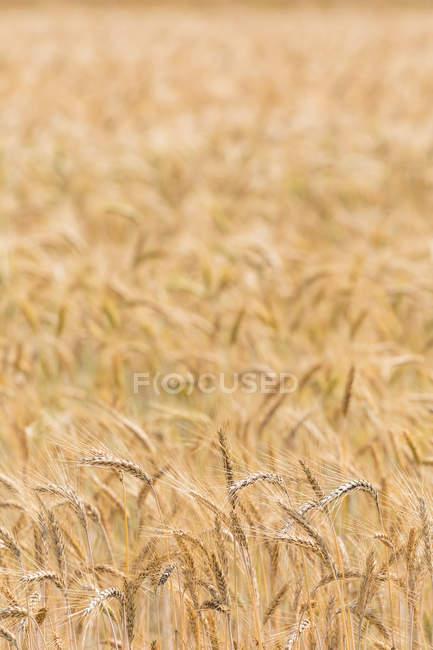 Close-up de orelhas de cevada no campo durante o dia — Fotografia de Stock