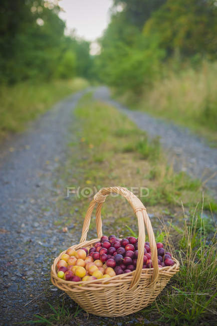 Viewk of Mirabelles in a  straw  basket on road — Stock Photo