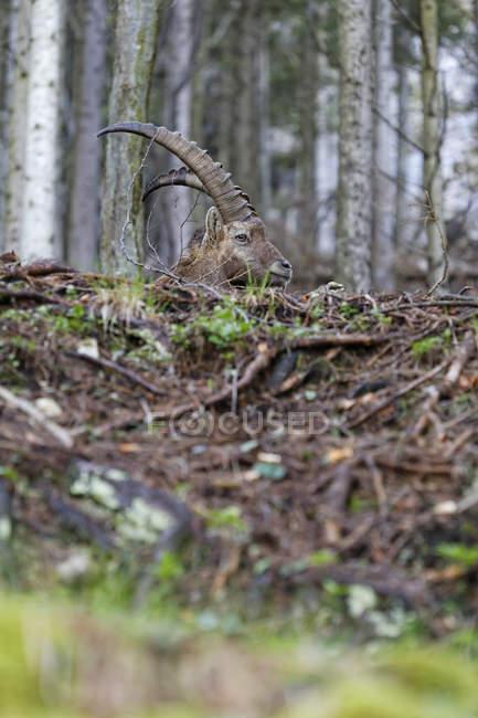 Австрии, Штирии, альпийский козерог в Gesaeuse национальном парке — стоковое фото