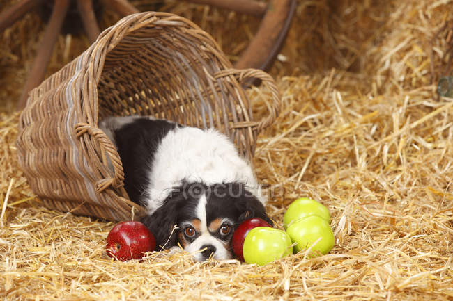 Cavalier King Charles Spaniel lying in upturned basket on straw in barn — Stock Photo