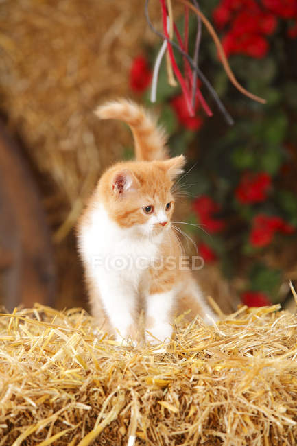 Pé de gato Shorthair britânico sobre palha em celeiro — Fotografia de Stock